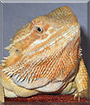 Dixon the Red Bearded Dragon