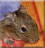Fifi the Degu