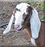 Bunny the Mini Nubian Goat