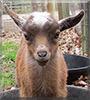 Xena Warrior Princess the Nigerian Dwarf Goat
