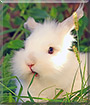 Helena the Dwarf rabbit
