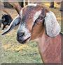 RubyBee the Nubian goat