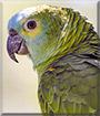 Mopar the Blue Front Amazon Parrot