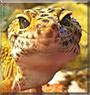 Izzy the Leopard Gecko