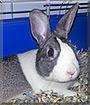Pepper the Dutch Rabbit