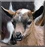 Daisy the Nigerian Dwarf Goat