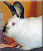 Tiva the Californian Rabbit