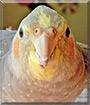 Dewey the Cockatiel
