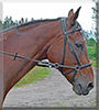 Heppe the Warmblood Horse