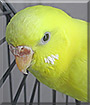 Hermione the Budgie