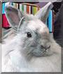 Isidora the Lionhead Rabbit
