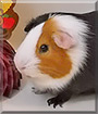 Reeses the Guinea Pig