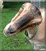 Hallie the LaMancha Dairy Goat