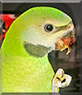 Chiki the Moustache Parakeet