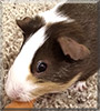 Rose the Guinea Pig