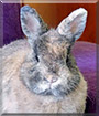 Foxy the Netherland Dwarf Rabbit