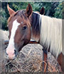 Aspen the Paint Pony, Quarter Horse