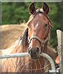 Rudie the Standardbred Horse