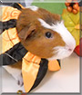 Mustache the Guinea Pig