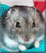 Oreo the Russian Dwarf Hamster