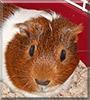 Gilbert the Guinea Pig