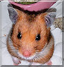 Rose the Syrian Hamster