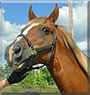 Ringer the Tennessee Walking Horse