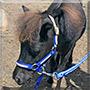 Turbo the Miniature Horse