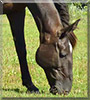 Starlight the Tennessee Walking Horse