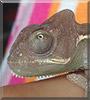 Timmy the Veiled chameleon