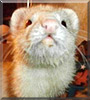 Laura the Ferret