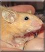 Butterscotch the Mouse