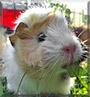 Piko the Guinea Pig