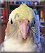 Luca the Lutino Pied Cockatiel