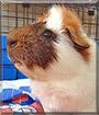 Max the Guinea Pig