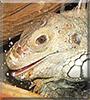 Lucifer the Iguana