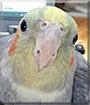 Baby Bird the Cockatiel