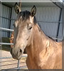 Spirit the Quarter Horse