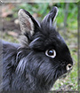 Noel the Lionhead Rabbit