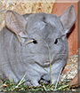 Kasimir the Chinchilla