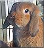 Thor the Mini Lop Rabbit