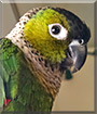 Harley the Black Capped Conure