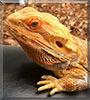 Aden the Bearded Dragon