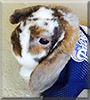 Riley the Dwarf Lop Rabbit