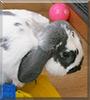 Rio the Holland lop bunny