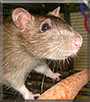 Lucy the Hooded Rat