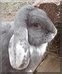 Bolle the German Ram Rabbit