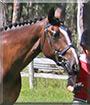 Charlie the Arabian Warmblood Horse