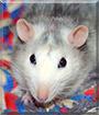 Farah the Fancy rat