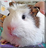 Looker the Guinea Pig